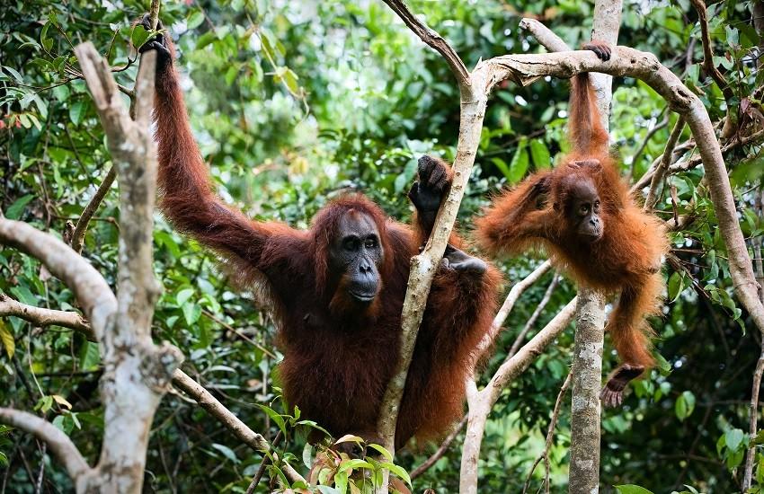Kutching Orangutangs