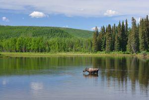 Moose in Alaska (Image credit: iStock)