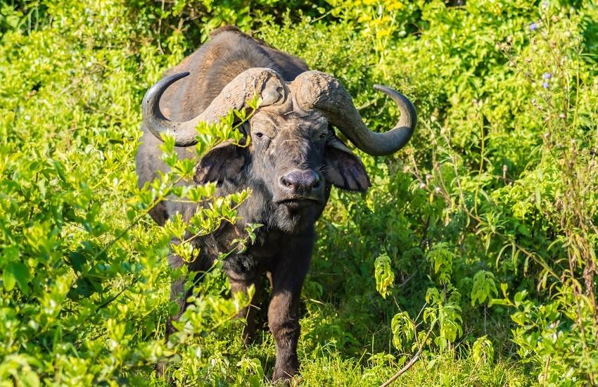 Aberdare Buffalo