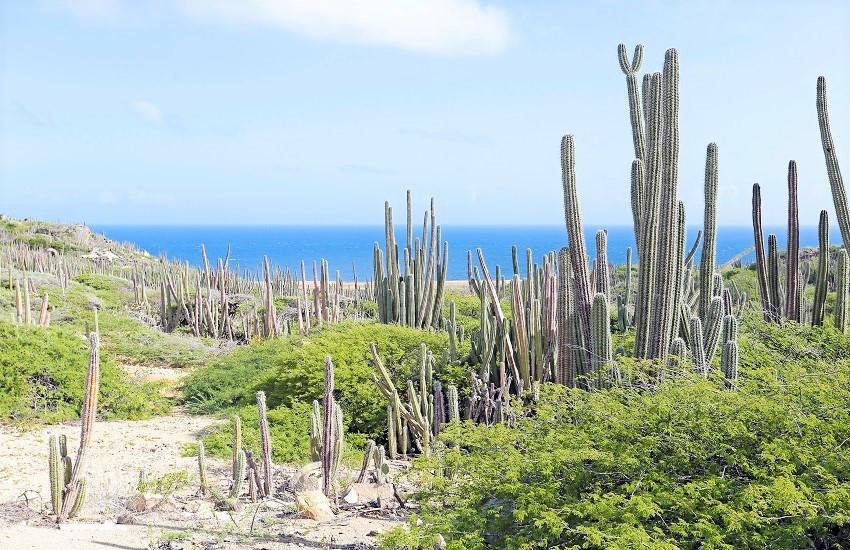 Aruba Cactus Landscape