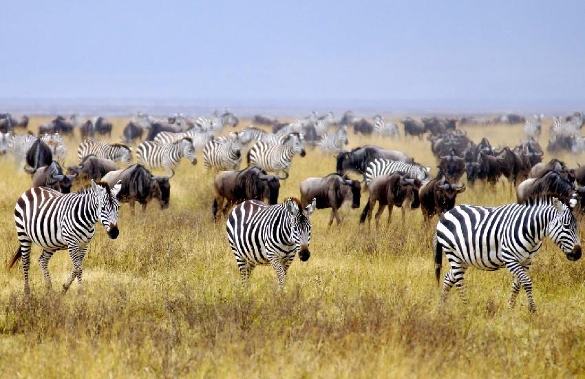 Arusha-Zebras
