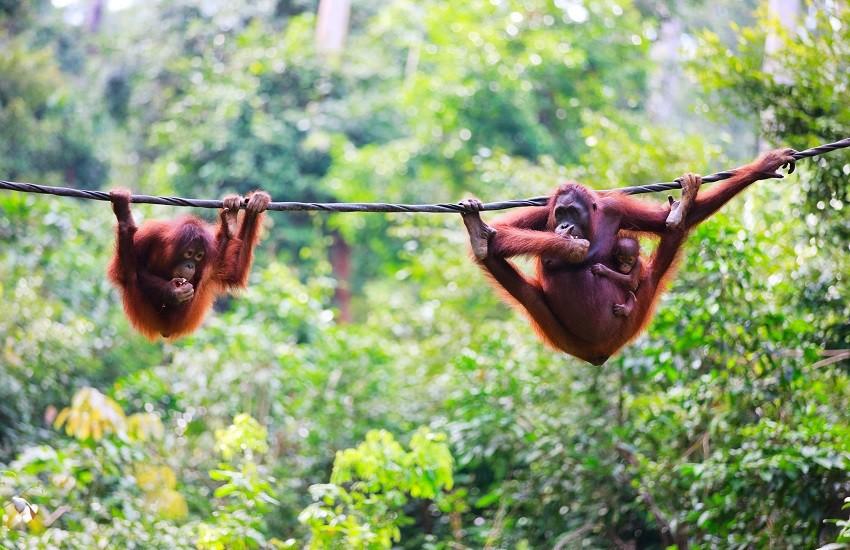 Borneo Orangutang