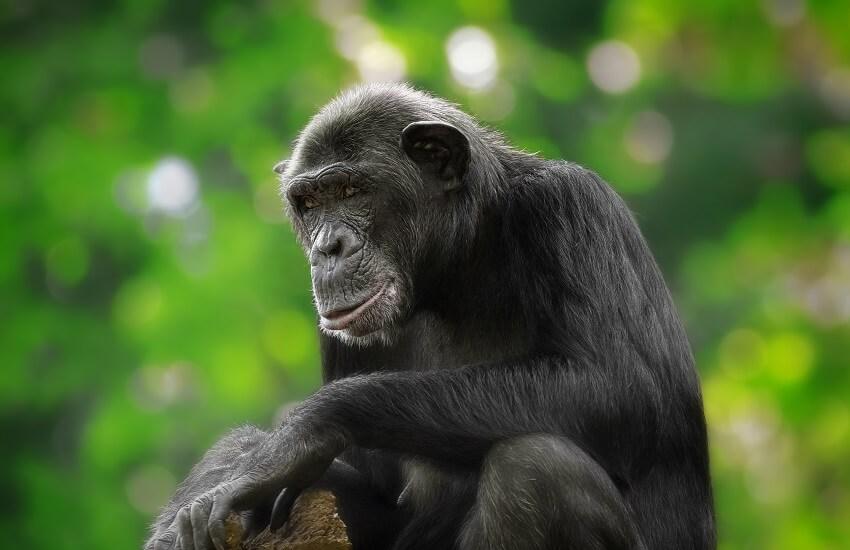 Chimpanzee Rwanda