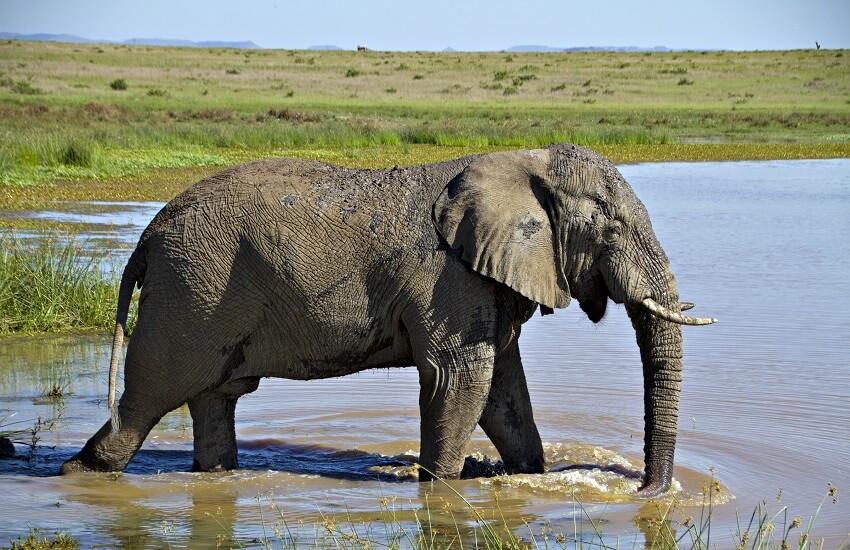 Eastern Cape Elephant