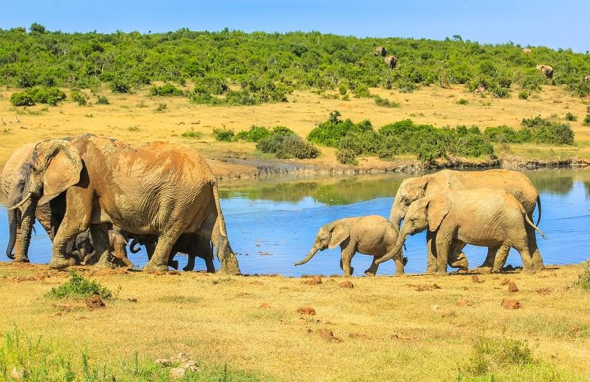 Garden Route Safari Elephants