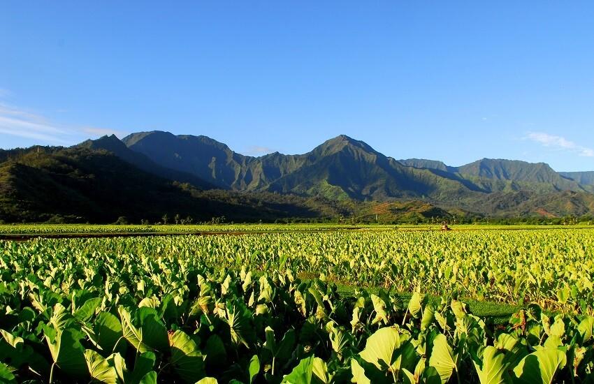 Taro field in Kauai Hawaii