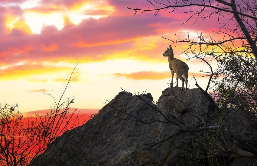 Steenbok in Kruger