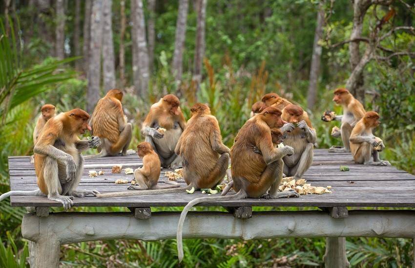 Kuching Monkeys