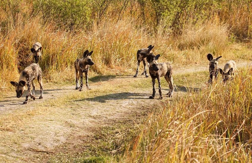 Okavango Delta Wild Dogs