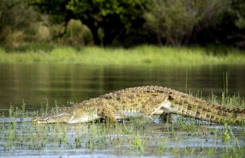 Selous Crocodile