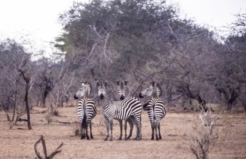 Selous Zebras