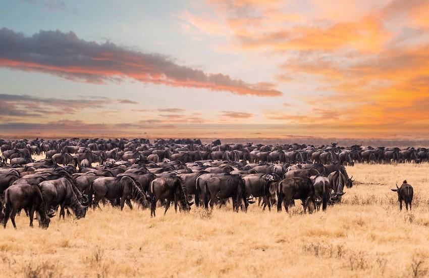 Serengeti Wildebeest