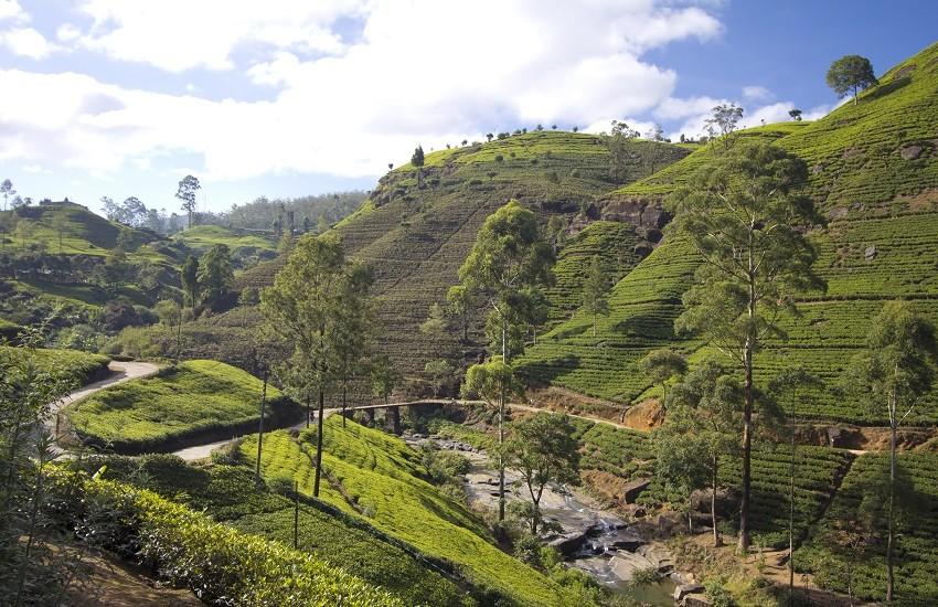 Sir Lanka Tea fields