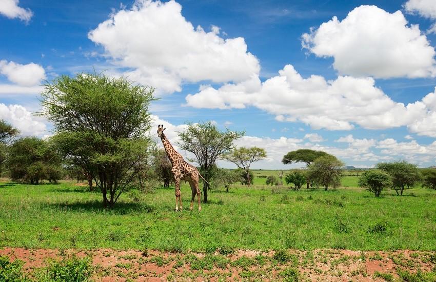 Tarangire Giraffe