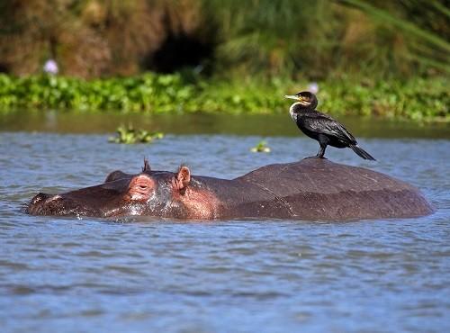 Lake Naivasha Hippo