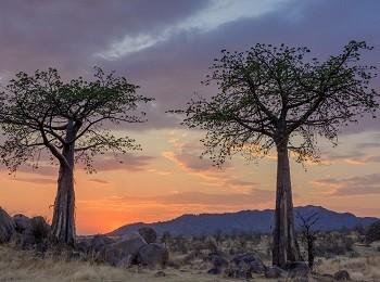 Ruaha Baobabs